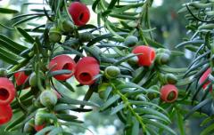 南方红豆杉怎么种,怎么进行病虫害防治