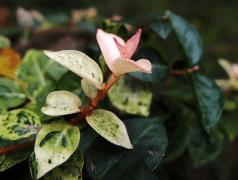 花叶络石怎么扦插,花叶络石繁殖方法有哪些