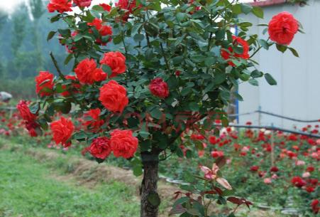 月季树嫁接用什么树种 月季树的嫁接要点介绍
