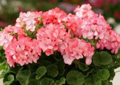 天竺葵哪个品种最漂亮,天竺葵品种推荐