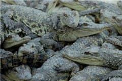 吃人工养殖鳄鱼犯法吗?人工鳄鱼肉怎么吃?