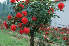 月季树嫁接用什么树种,月季树的嫁接要点介绍