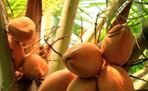 红椰子的功效与作用 吃红椰子的好处有哪些