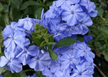 蓝雪花的种植方法 蓝雪花生长需要注意什么