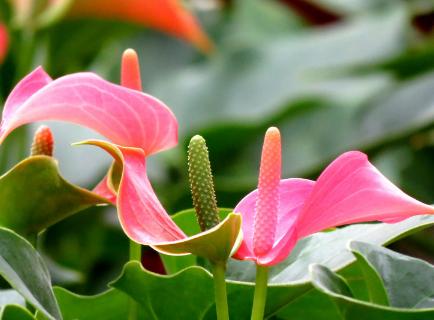 粉掌的种植方法 粉掌养殖需要注意什么