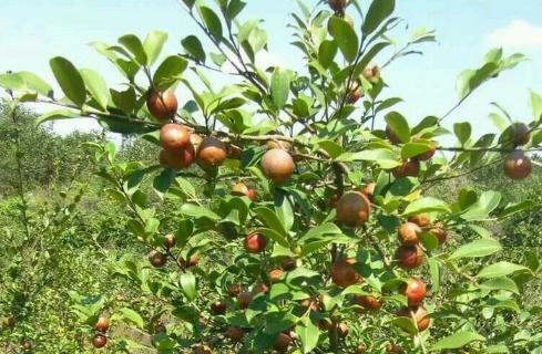 油茶树种植注意事项 油茶树种植方法技巧总结