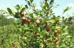 油茶树种植注意事项,油茶树种植方法技巧总结