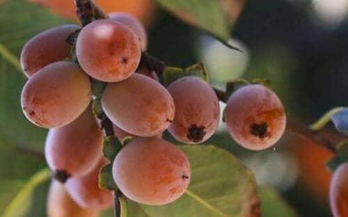 小柿子软枣的功效与作用