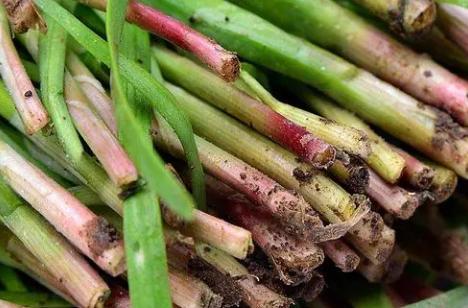 红韭菜栽培注意什么 种植方法技巧总结