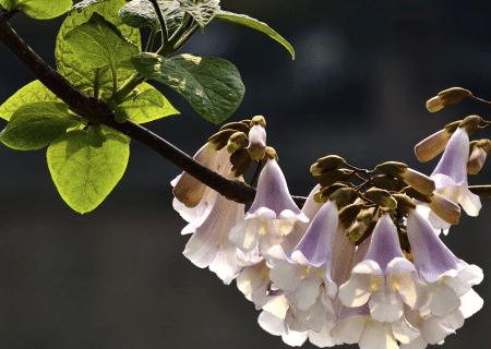 泡桐种植技术 泡桐怎么养护好