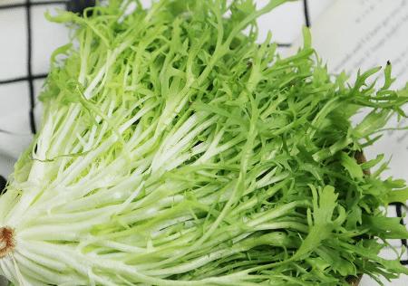 北方地区苦苣菜设施高产栽培技术 苦苣菜应该怎么养殖