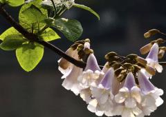 泡桐种植技术,泡桐好养吗,怎么养护好