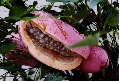 八月瓜怎么种植 养护技巧有哪些