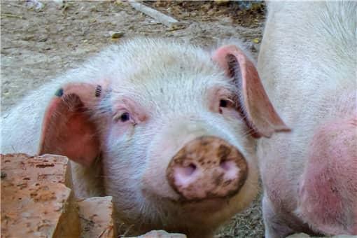2021年非法经营杀猪判多久