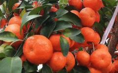 金秋砂糖橘这个品种怎样,好不好种