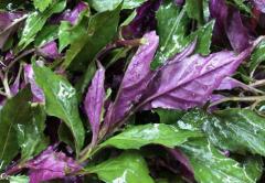 红凤菜种植时间和栽培技术,红凤菜好养吗,怎么养殖好