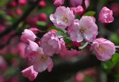 海棠花扦插繁殖方法,海棠应该好养吗,怎么养殖好