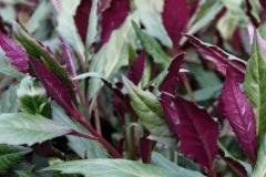 红凤菜的栽培技术介绍,红凤菜种植方法有哪些总结