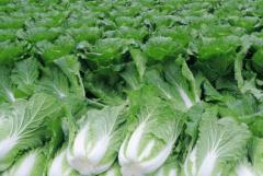 夏秋大白菜的防旱措施及管理要点,大白菜种植方法有哪些总结
