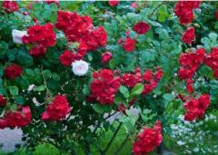 红木香花怎样修剪,红木香花修剪方法总结