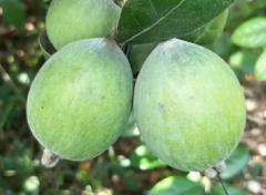 菲油果高产栽培技术,菲油果应该好养吗,怎么养殖