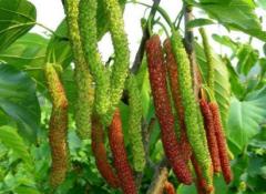 长果桑盆栽方法,养护事项有哪些