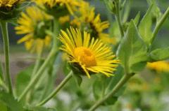 土木香的人工种植技术,土木香种植方法总结