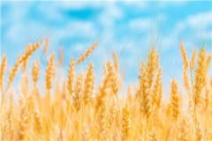 美国春小麦价格上涨一倍!具体怎么回事?附国内最新小麦价格!
