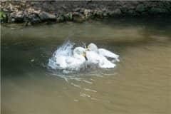 老人散步时被两只大白鹅攻击致残!具体怎么回事?看详情!