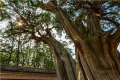 国家对古树的补偿标准:几百年的古树征收怎么赔偿?