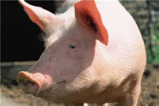 生猪价格出现反弹