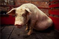生猪价格出现反弹!现在多少钱一斤?2021生猪价格到春节怎么样?