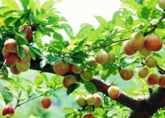 李子树怎么种能壮苗,李子树壮苗栽培管理技术