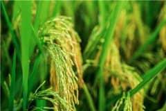 南哈尼梯田10万亩水稻丰收!具体什么情况?稻鱼共作是什么意思?