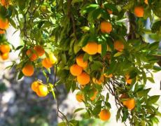 院里有杏树是吉是凶,养杏树好不好