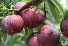 不得不知的李子树苗种植方法有哪些,如何种植李树幼苗
