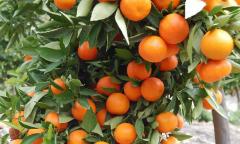 柑橘苗栽培技术,柑橘苗栽培中的注意事项有哪些