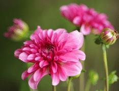 小丽花的种植方法,小丽花生长条件是什么