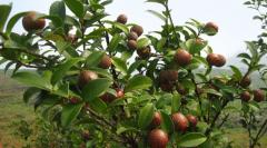 油茶苗如何种植,种植时的影响因素有哪些