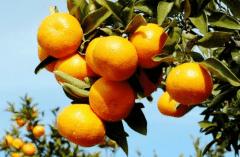 新栽柑橘幼苗怎么施肥,柑橘幼苗施肥准则是什么