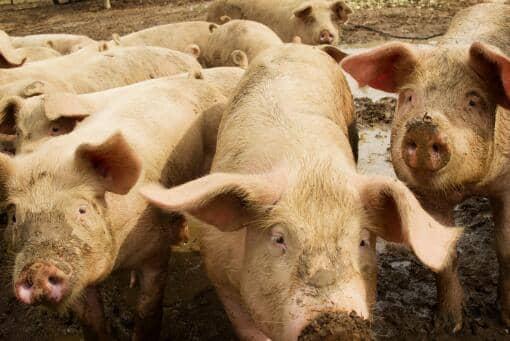 台湾现非洲猪瘟肉制品