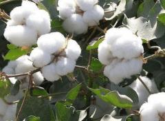 棉花苗期管理要点,棉花水肥怎么管理