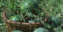 西瓜种子怎样催芽,西瓜的五种催芽方法是什么