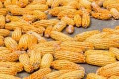2021年9月份玉米价格预测:现在玉米的最新价格多少钱一斤?附各地