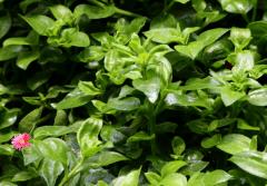 穿心莲如何种植,种植过程中有哪些注意事项