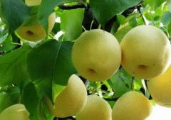 夏季梨树如何管理,做好这几个环节产量高