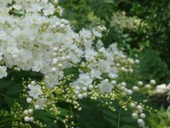 珍珠梅的盆景养护技巧,珍珠梅养殖需要注意什么