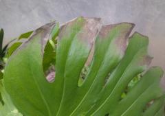 龟背竹叶尖发焦变黑什么原因,怎么解决