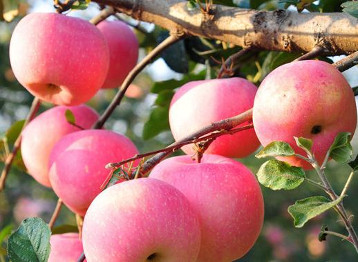如何提升苹果产量和质量 苹果高产的方法是什么