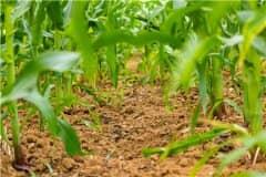 2021年玉米补贴多少钱一亩?附各地玉米补贴发放时间!